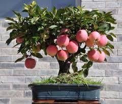 Image result for fruit tree bonsai