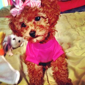 Puppies For Sale Toy Poodles In Suffolk County Long Island