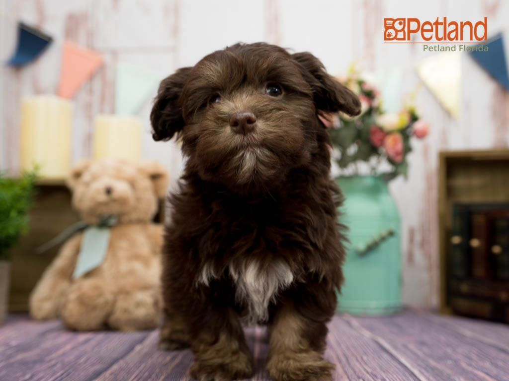 Puppies For Sale In 2020 With Images Cute Puppies For Sale Havanese Puppies For Sale Puppy Friends