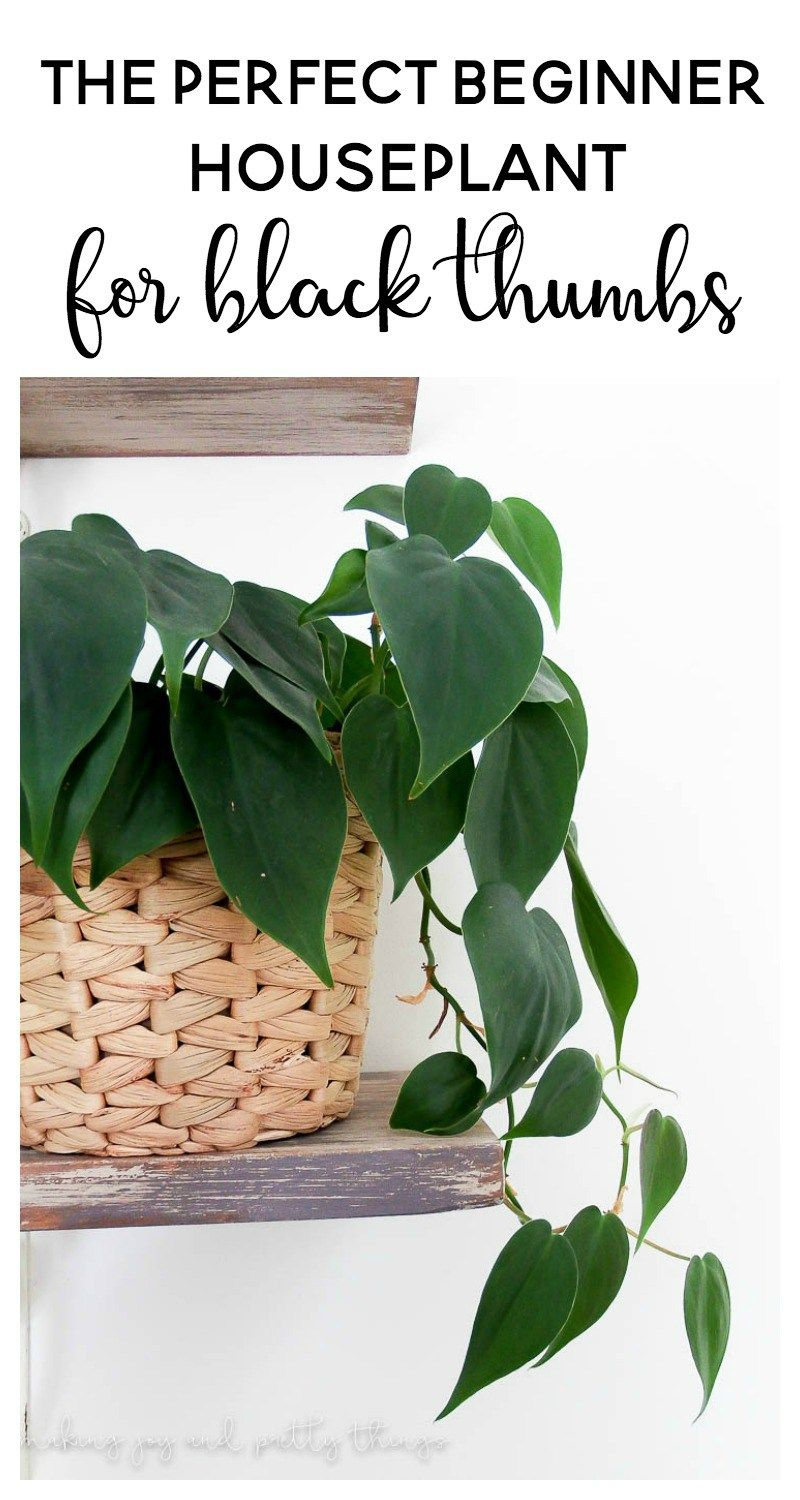 The Perfect Beginner Houseplant for Black Thumbs | Indoor plants ...