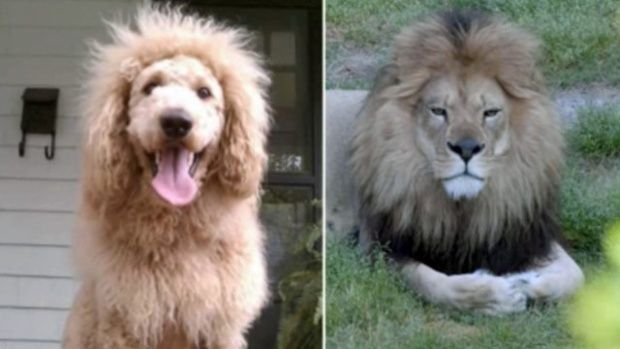 I Will Own A Dog Like This One Day Dogs Dog Grooming Lion Dog