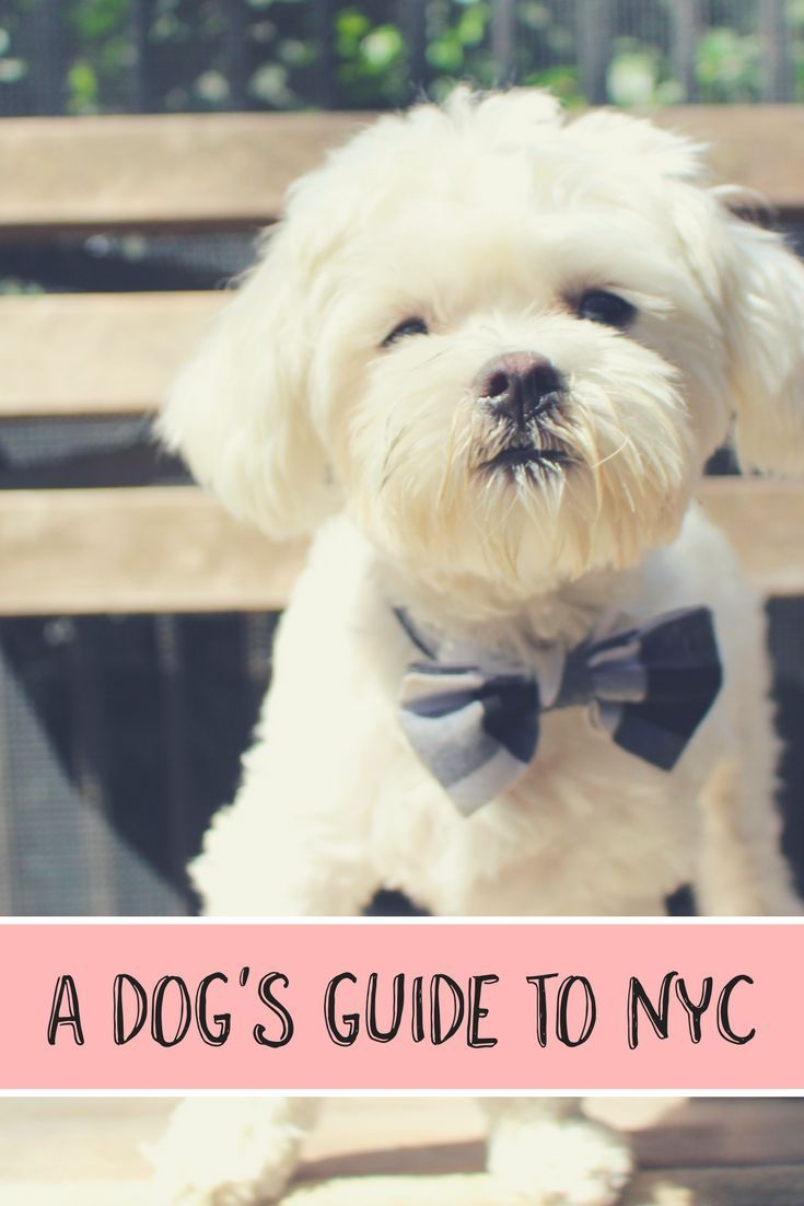 Tucker The Maltese S Guide To New York City City Chic Dog