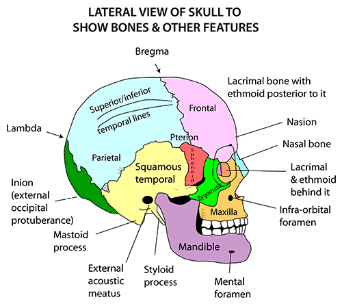 Instant Anatomy Head And Neck Areasorgans Skull Lateral