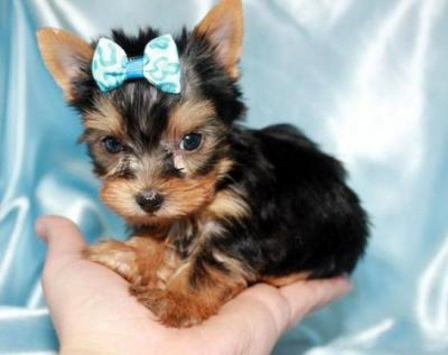 Tea Cup Yorkshire Terrior Pretty Blue Bow Teacup Yorkie Puppy
