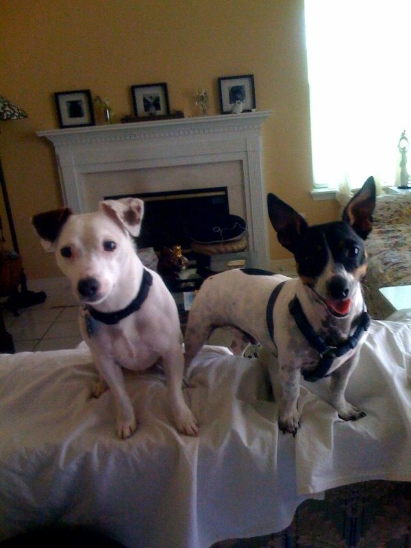 Community Rat Terrier Dogs Rat Terriers Terrier Dog Breeds