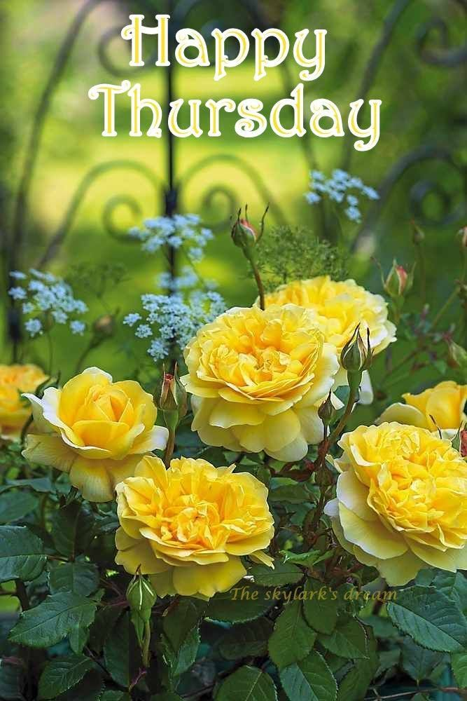 Happy Thursday David Austin Roses Rose Yellow Roses