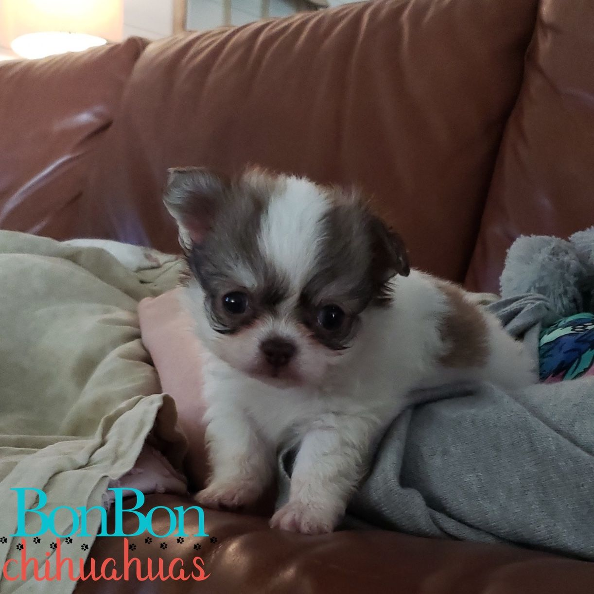 Chihuahua Puppies For Sale In 2020 Chihuahua Puppies Puppies Chihuahua Puppies For Sale