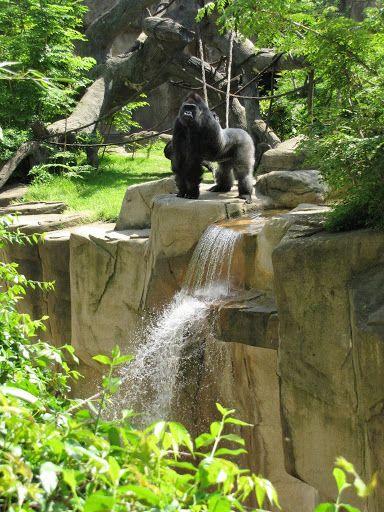 Gorilla standing next to waterfall at cincinnati zoo and for Zoo haute normandie