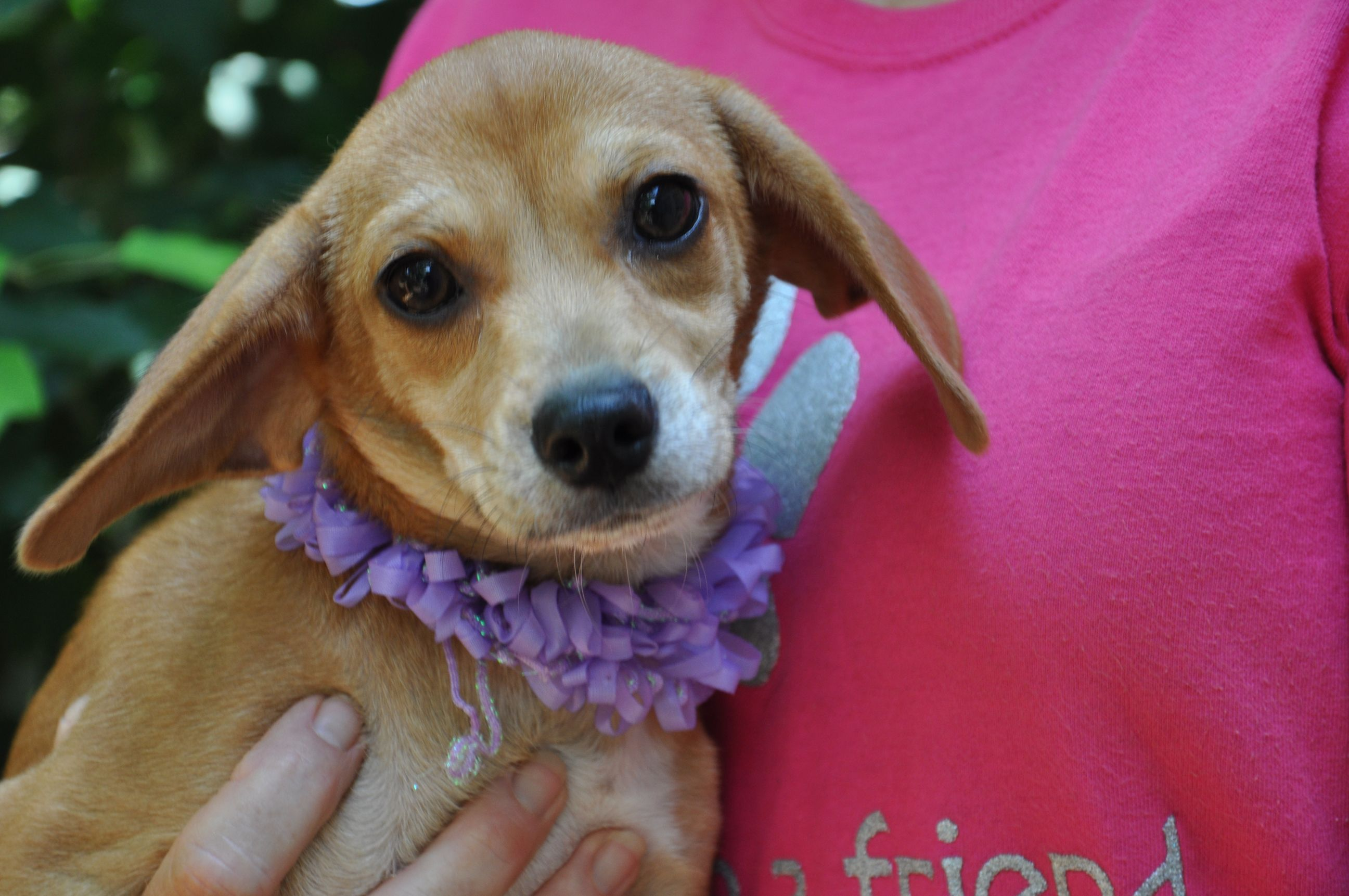 Taffy So Pretty Is A Chihuahua Beagle Mix Available At Dolly