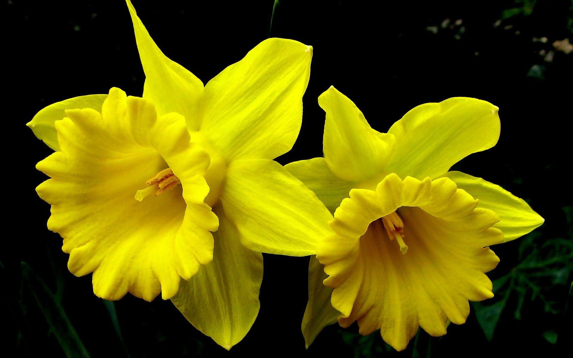 Yellow Daffodil Yellow Daffodils Wallpaper Wallpapers 1920x1200 Mrwallpaper Com Daffodil Flower Daffodils Flowers