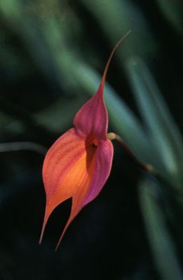Andean Orchid Flower Essences Of Machu Picchu Masdevallia Veitchianna Divine Goddess Orquidea