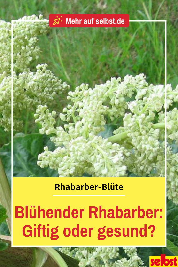 Etwas Neues genug Rhabarber blüht | Gemüsebeet | Rhabarber pflanzen, Rhabarber blüht &QU_35
