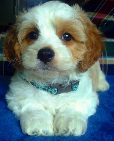 Cavapoo All The Facts You Need To Know About This Poodle Mix Designer Dog Cavapoo Cavoodle Dog Puppies And Kitties