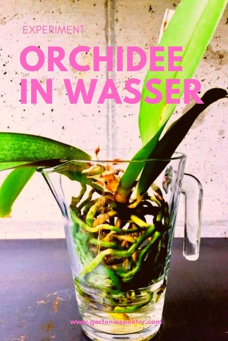 Geranien Vermehren In Wasser : wie orchideen in wasser kultiviert werden k nnen ~ Watch28wear.com Haus und Dekorationen