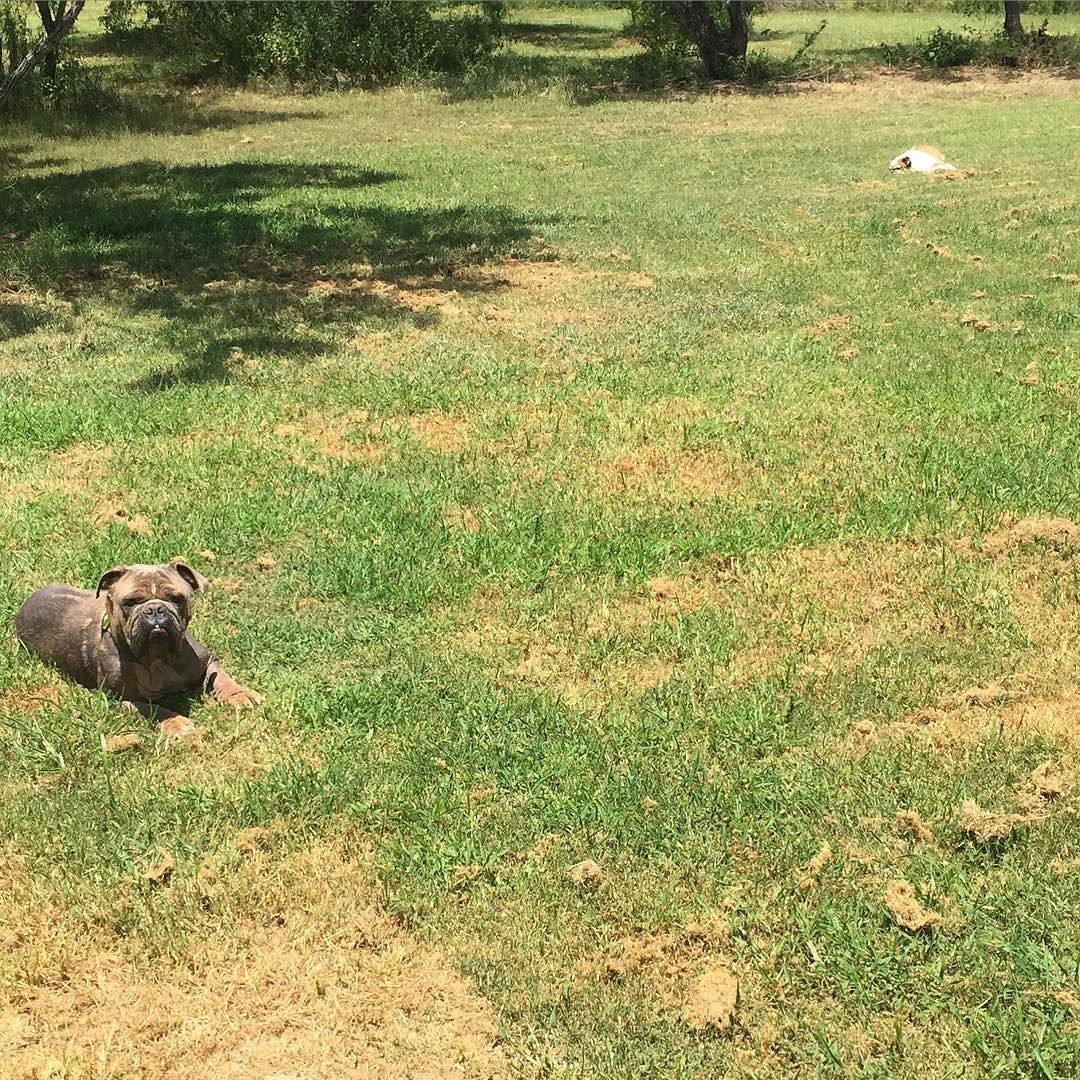 It's 100 degrees out and I have 2 sunbathing Bulldogs! Really???!!! I have to keep a close eye on these two. It's so easy for them to overheat in this weather. Hydration and staying cool is important for our dogs too! #rescuedogs #adoptdontshop #staycool