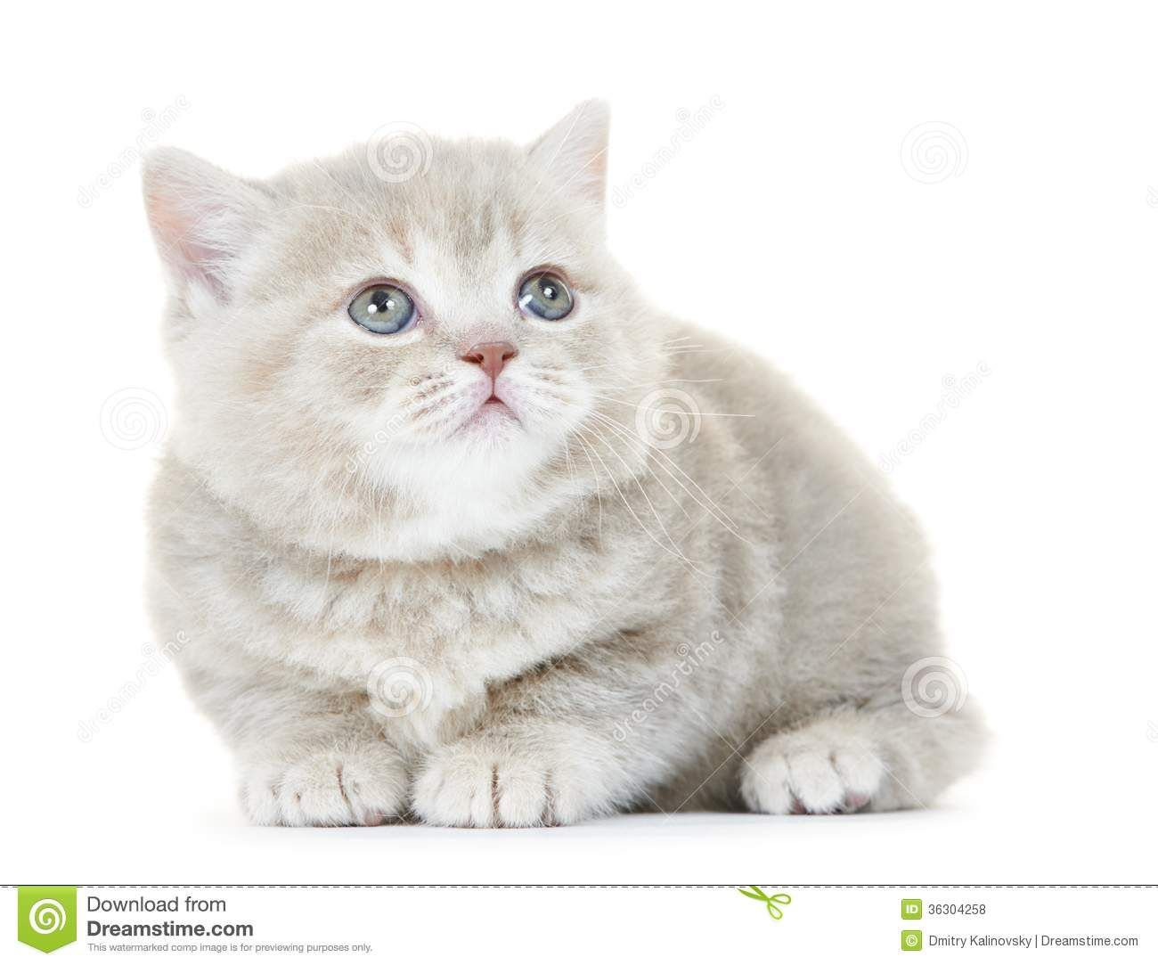 british shorthair kitten cat isolated one grey 1 300