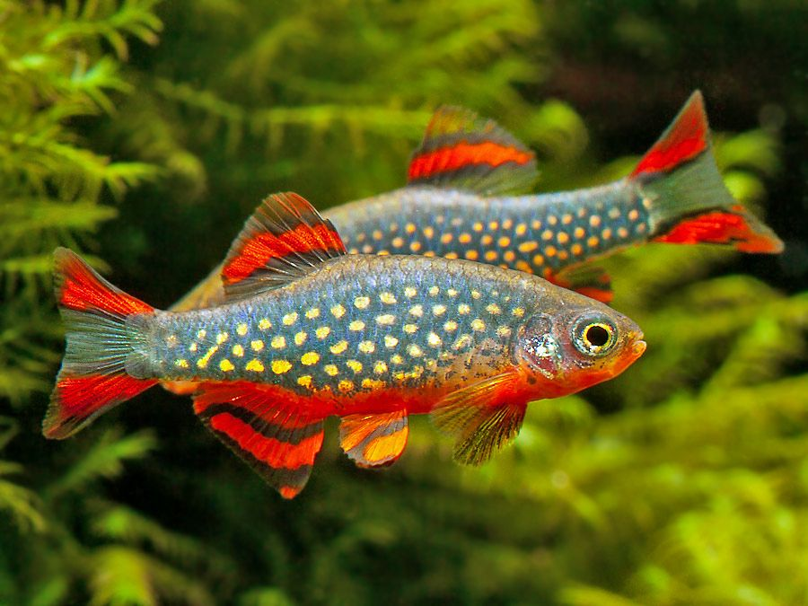 Pearl Danio Some males display a greater proportion of red pigmentation on the body and fins than others, and this intensifies during bouts of sparring. © Peter Macguire