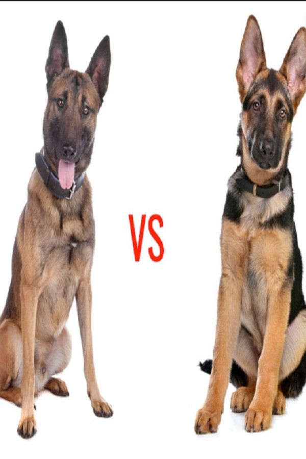 German Shepherd Or Belgian Malinois ! Whats The Difference