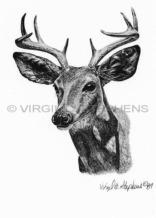 The ceous deer only found in mexico az or nm is a smaller deer but very hard to find arizona big 10 game animals pencil drawing by western artist virgil