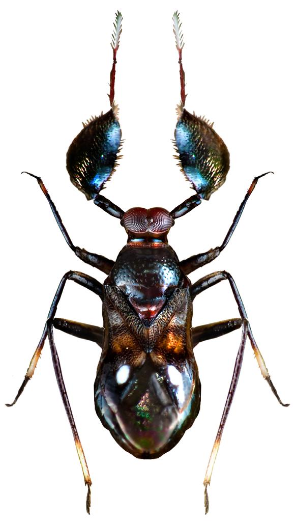 Sophianus sp.
