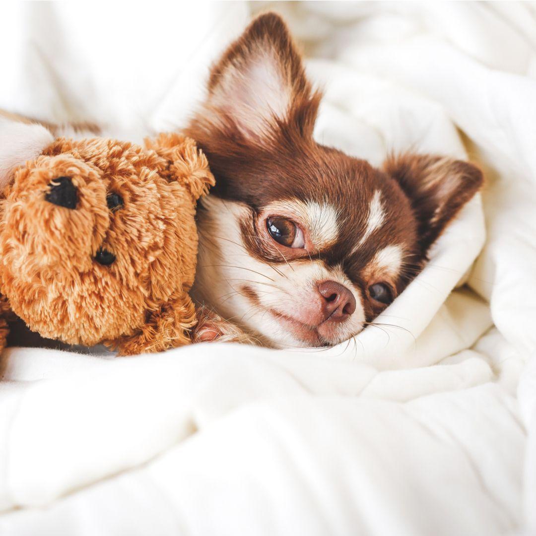 Cute Chihuahua Puppy Sleeping With Teddy Bear