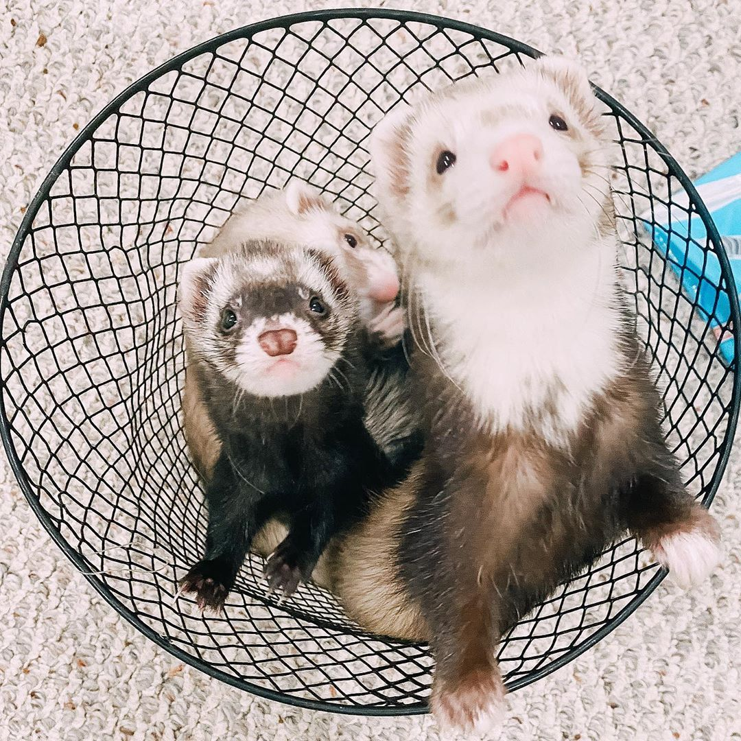 How Many Do You See In 2020 Ferret Baby Ferrets Funny Animals