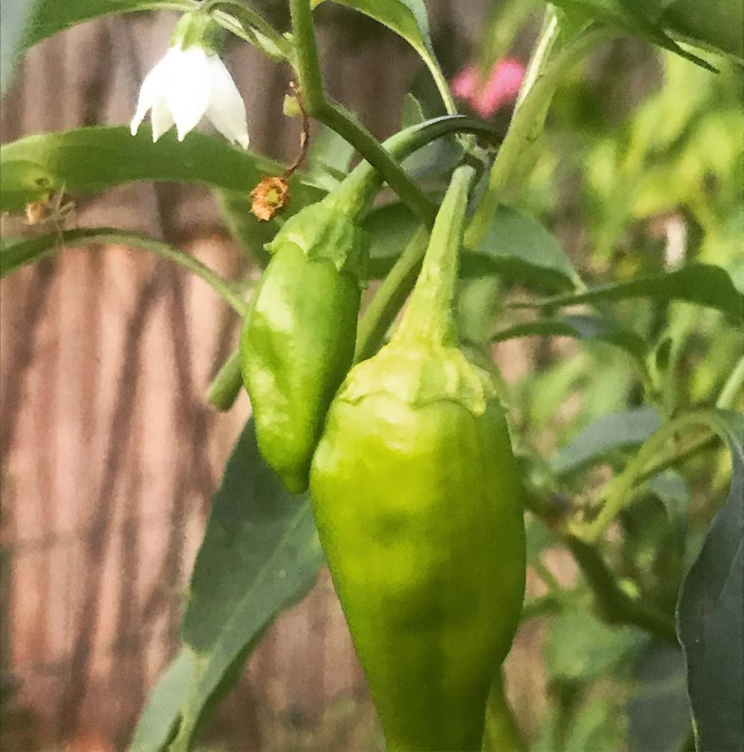 My Shishito peppers are going crazy To use them I made a slaw to top fish tacos  Shishito and bell pepper hot slaw recipe Dice 1 large bell pepper Slice 2 cups shishito p...