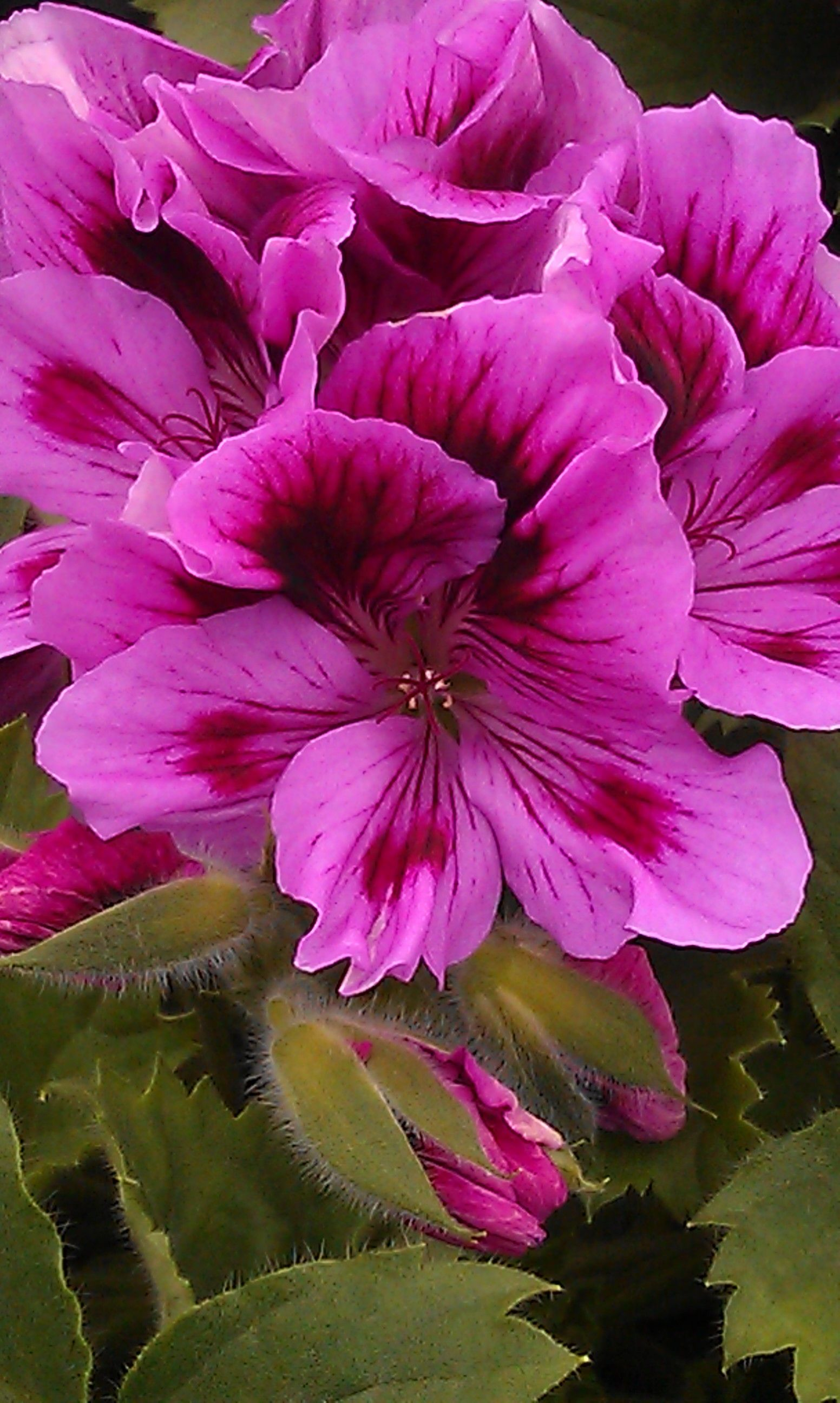 Glasregal Rot Beautiful Regal Pelargoniums From My Rotting Body Flowers Shall