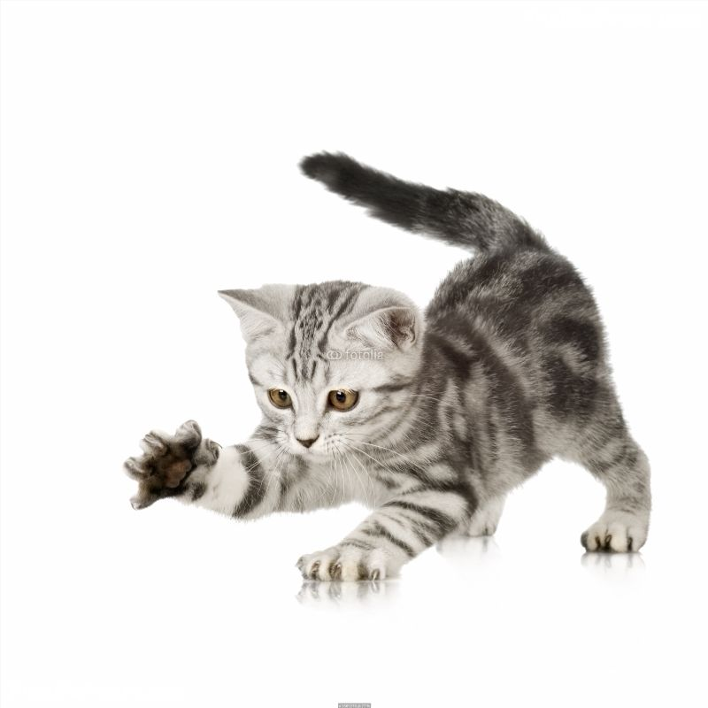 British Shorthair Kitten In Front Of A White Background Poster Id F3569278 British Shorthair Kittens Animals Pets Cats