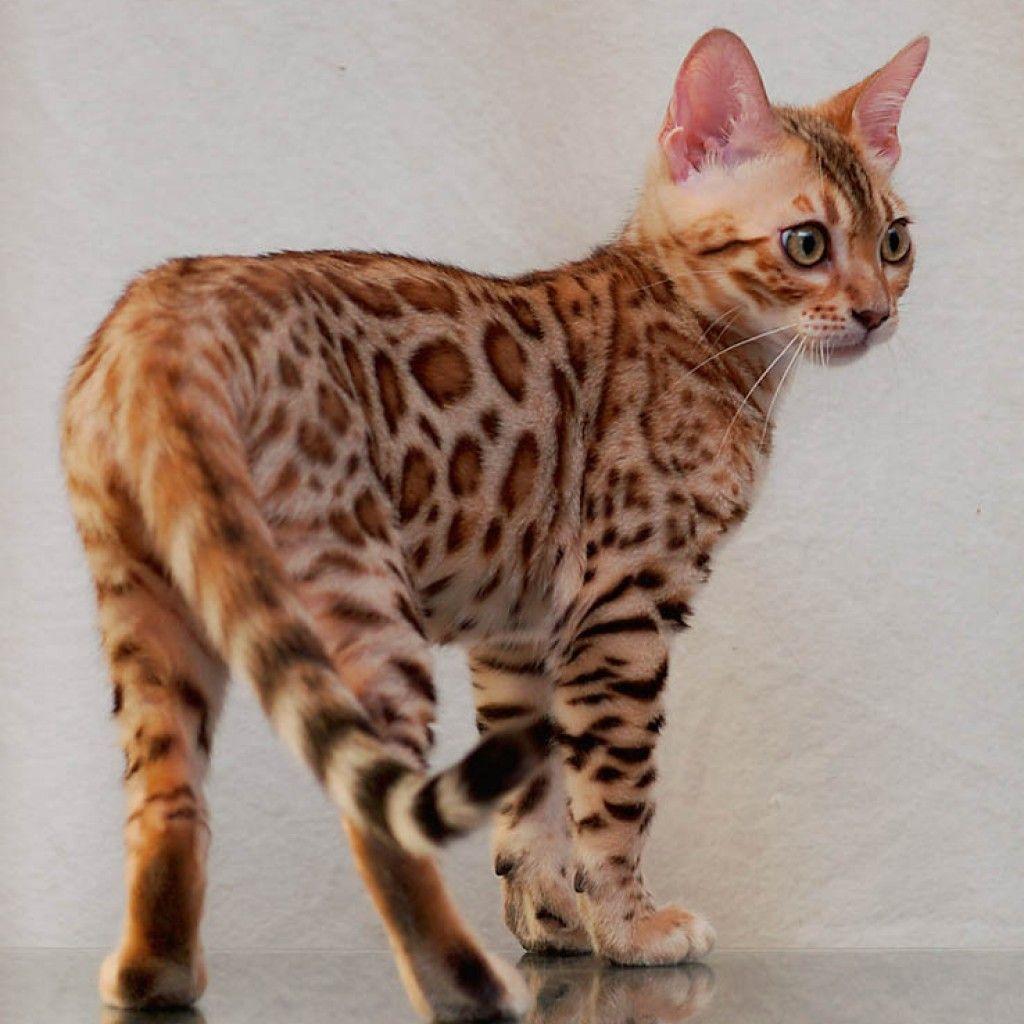 9b5c89e4d8 Bengal Cat Kittens