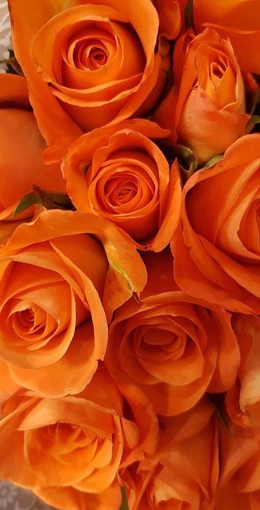Gratis billede på Pixabay - Roser, Orange, Blomstre, Blomst