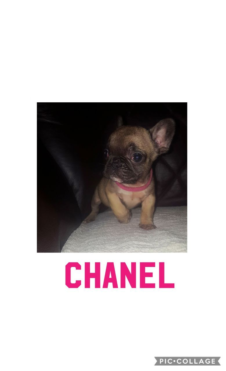 French Bulldogs French Bulldog Puppies Dogs