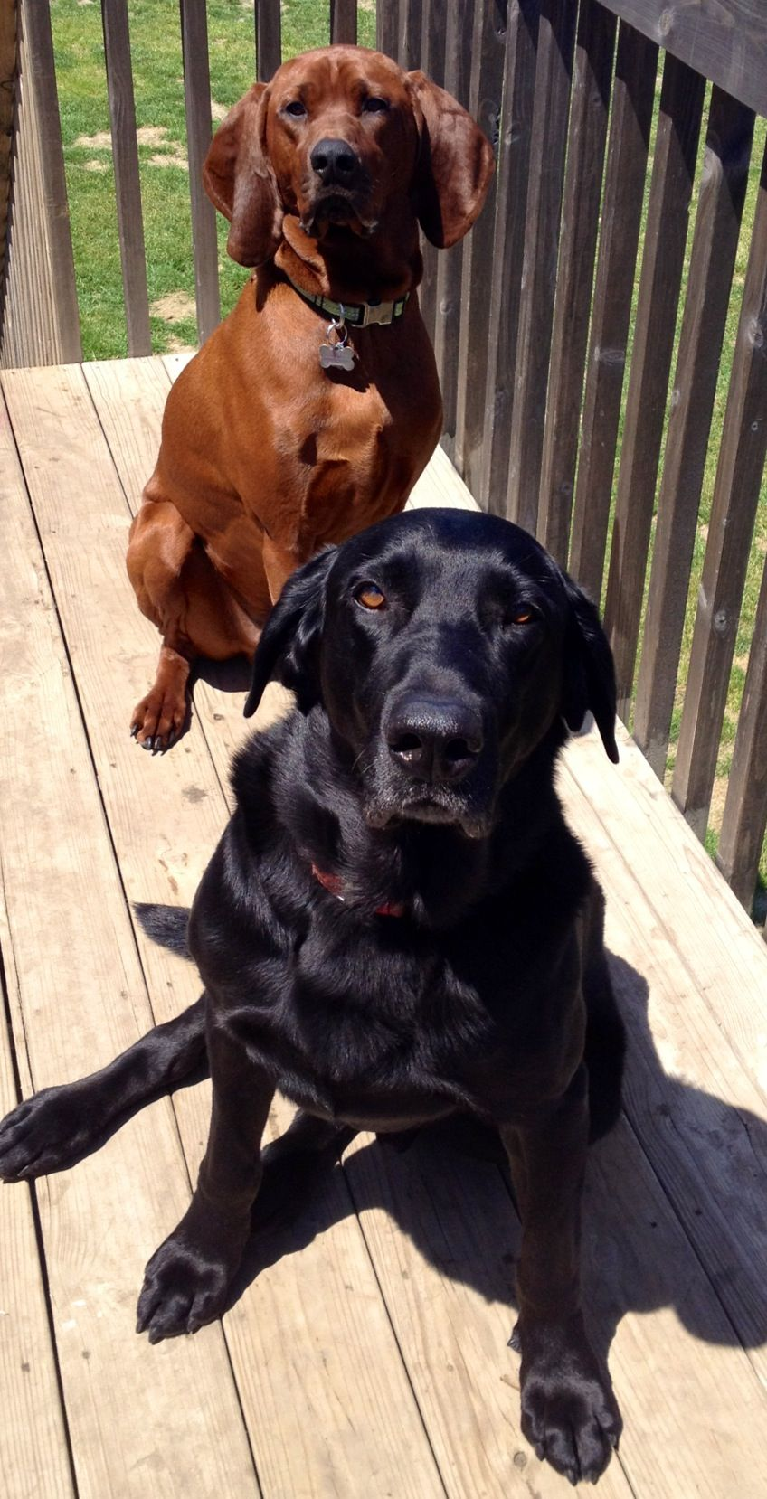 Redbone coonhound and black lab... These 2 together make