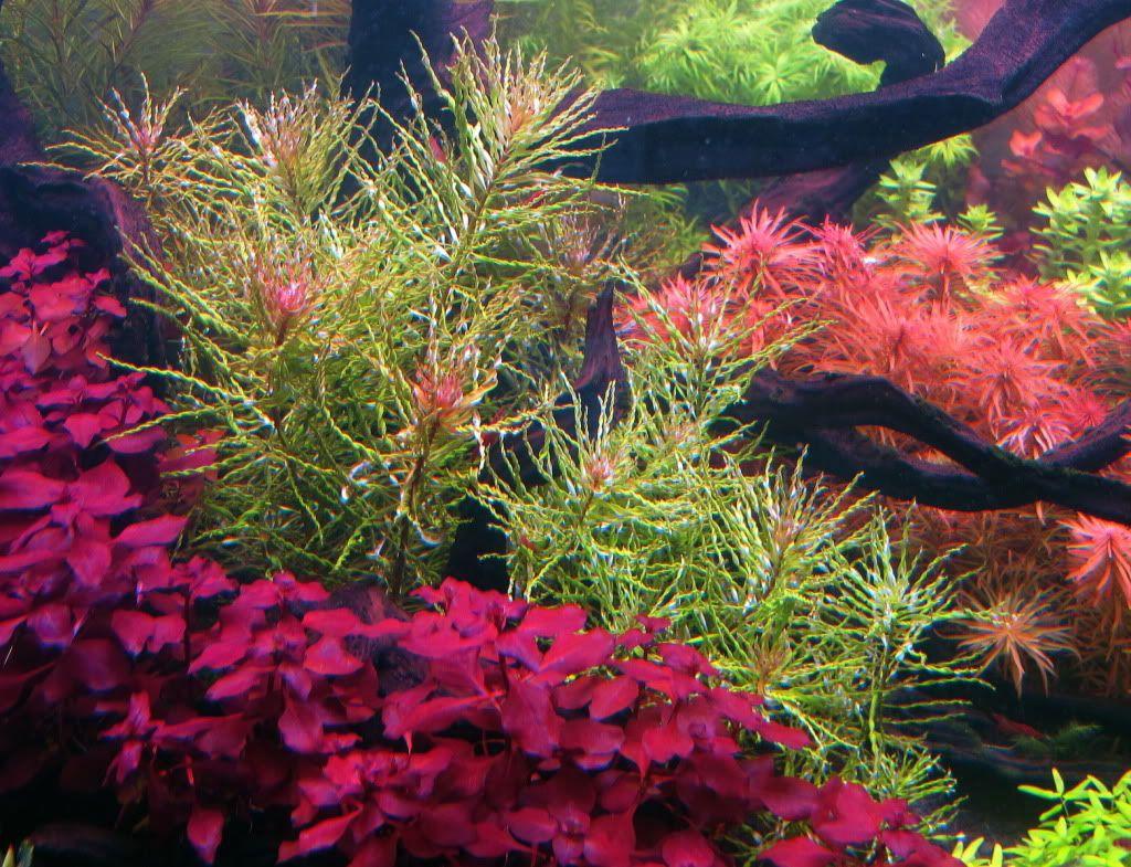 120 gallonen holl nder etwas oder eine andere gepflanzt for Japanische zierfische