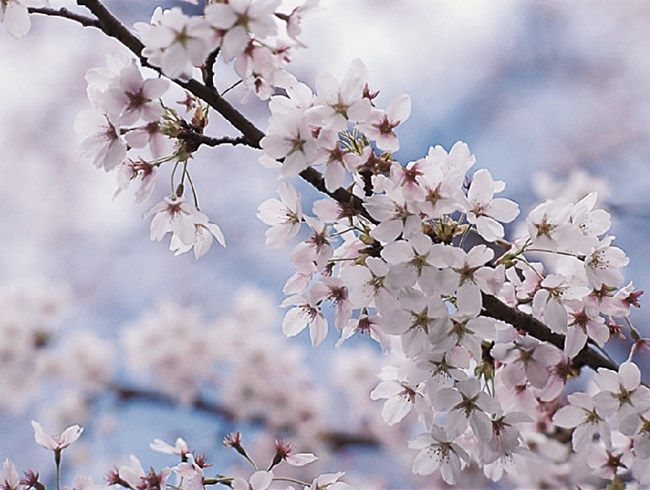 Flowering Cherry Trees The Best Flowering Cherries For Residential Gardens Yoshino Cherry Tree Flowering Cherry Tree Tree Garden Design Cherry Blossom Tree