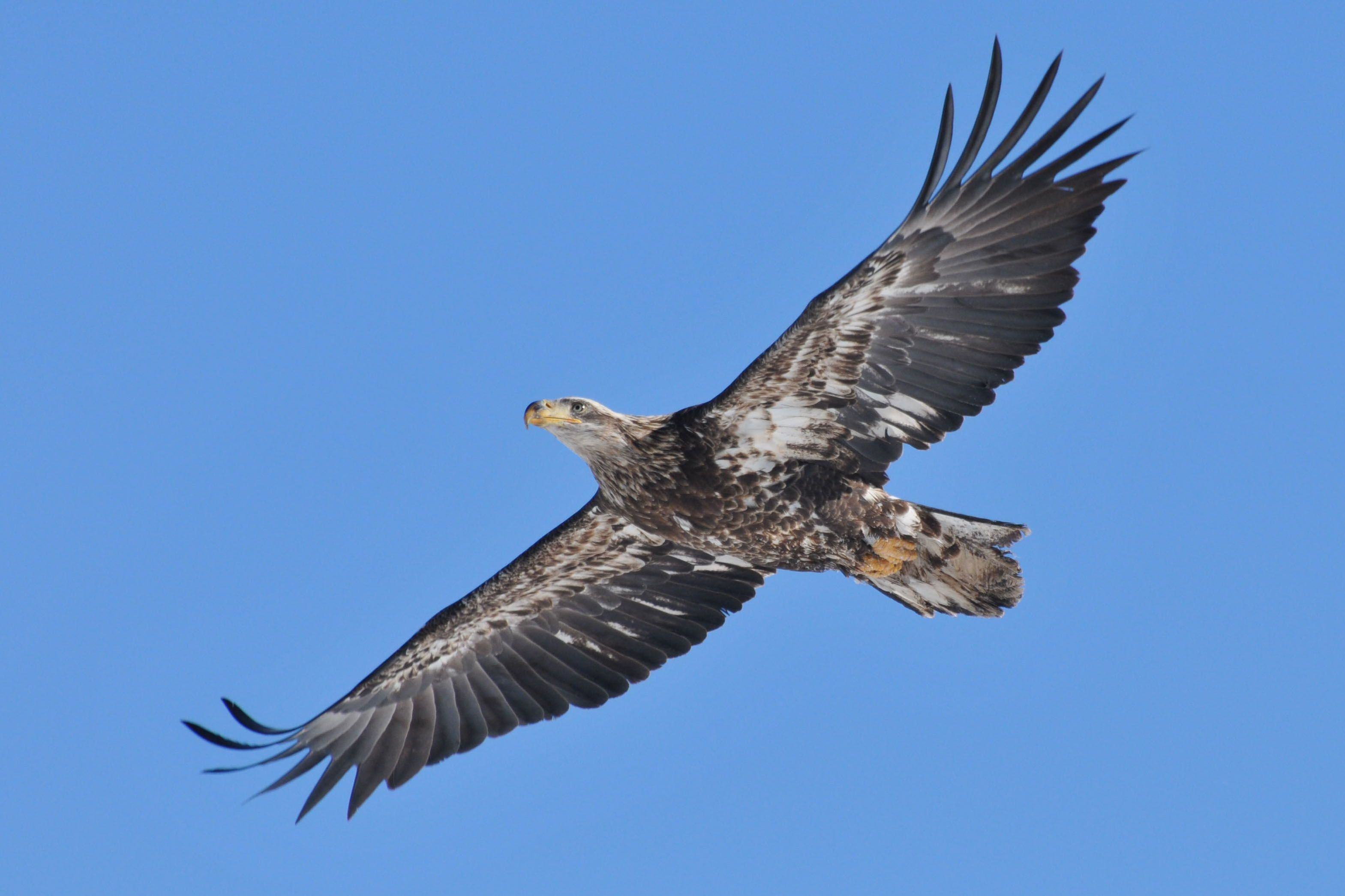 Immature Bald Eagle Fly Over Hudson River Photo By Craig