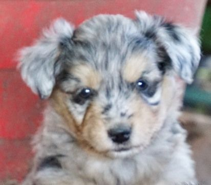 Australian Cattle Dog Poodle Miniature Mix Puppy For Sale In