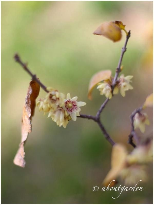 Chimonanthus fragrans  calicanto