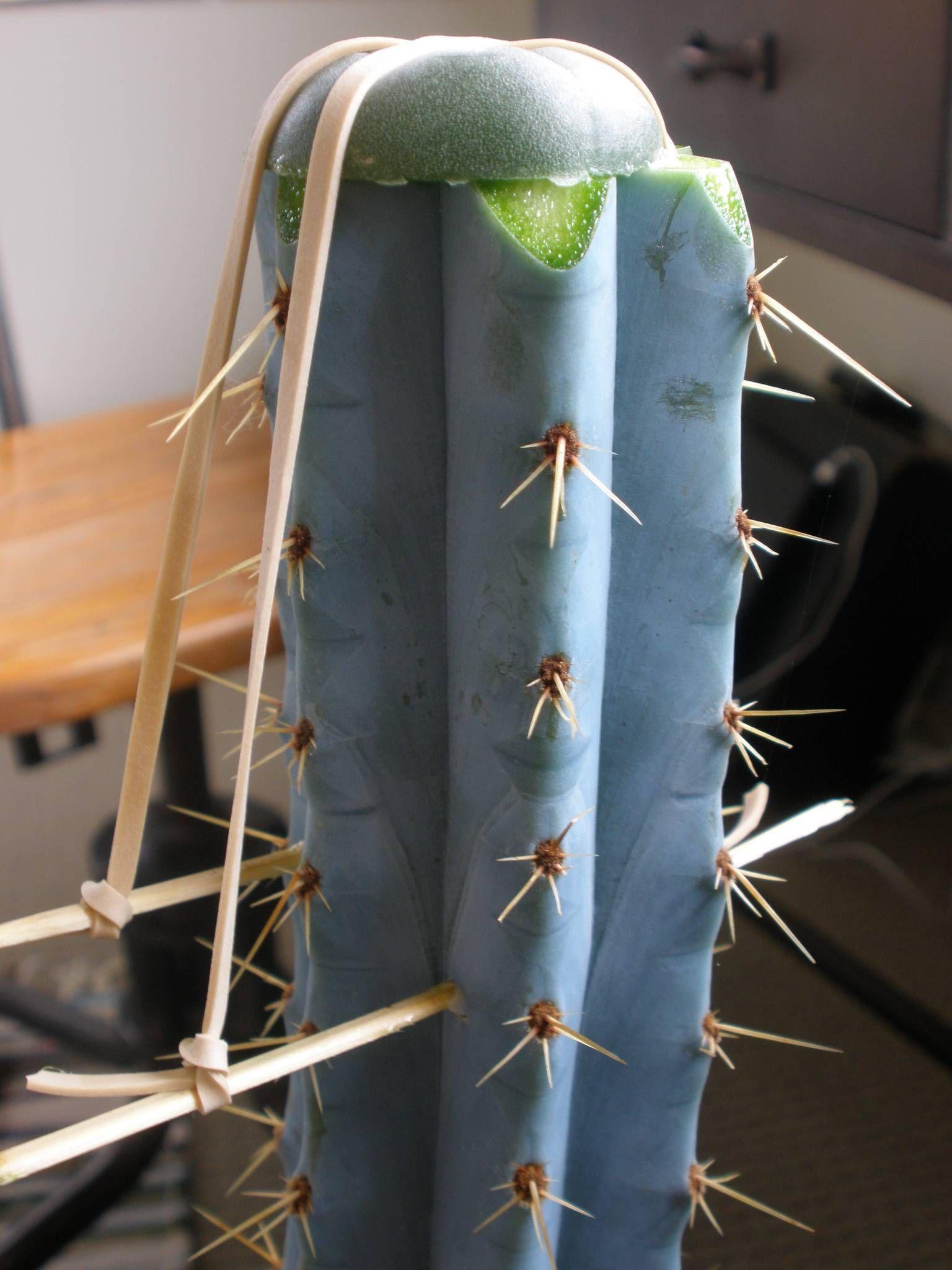 Cactus Id Please The Ethnobotanical Garden Grafted Cactus Cactus Cactus Plants