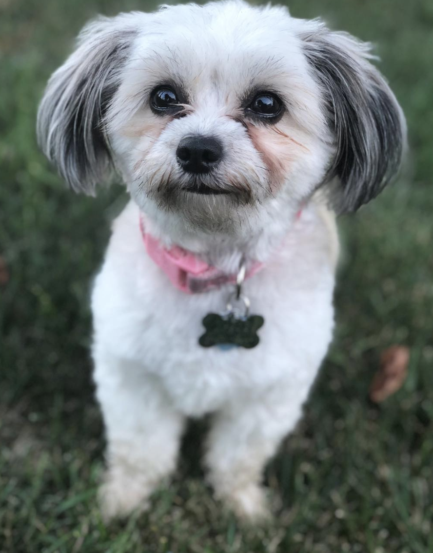 Hi Everyone Meet Maggie She S An Adorable Shihtzu Poodle Chihuahua Mix Dogs Poodle Puppy Silly Animals