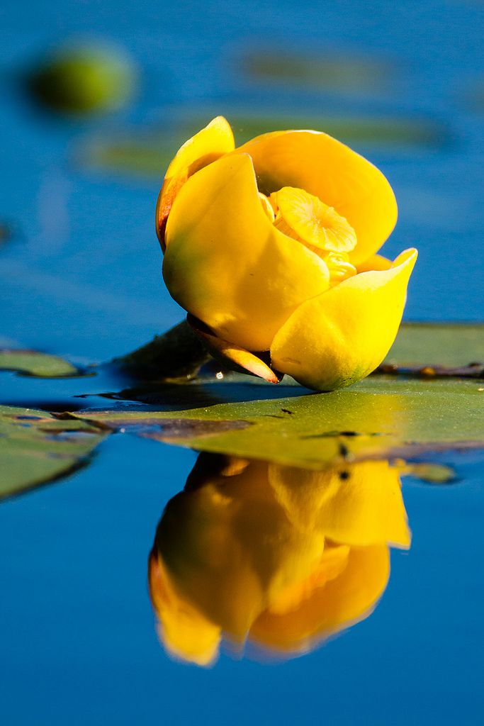https://flic.kr/p/oazd7n | _MG_0180 - On the water. ©Jerry Mercier | A yellow water lily (Nuphar advena) on a small pond in northern Wisconsin.