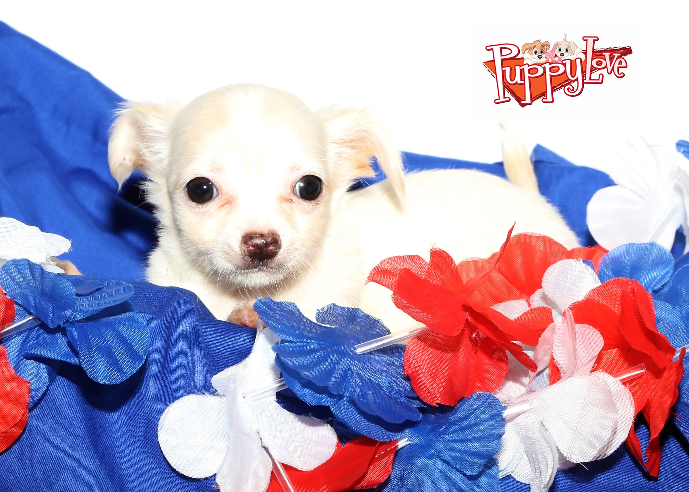Chihuahua Puppy For Sale On Long Island Come To Puppy Love Li In