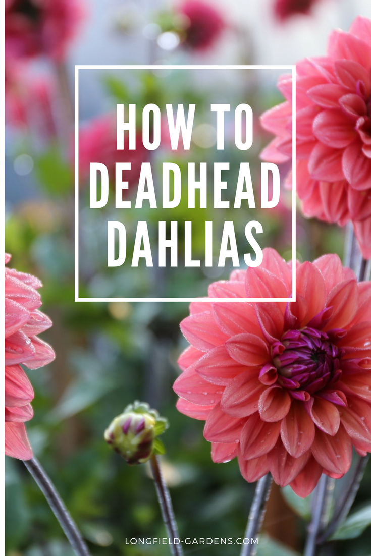 Watch Our Video For Easy Step By Step Tips On How To Deadhead Dahlias Growing Flowers Longfield Gardens Dahlia