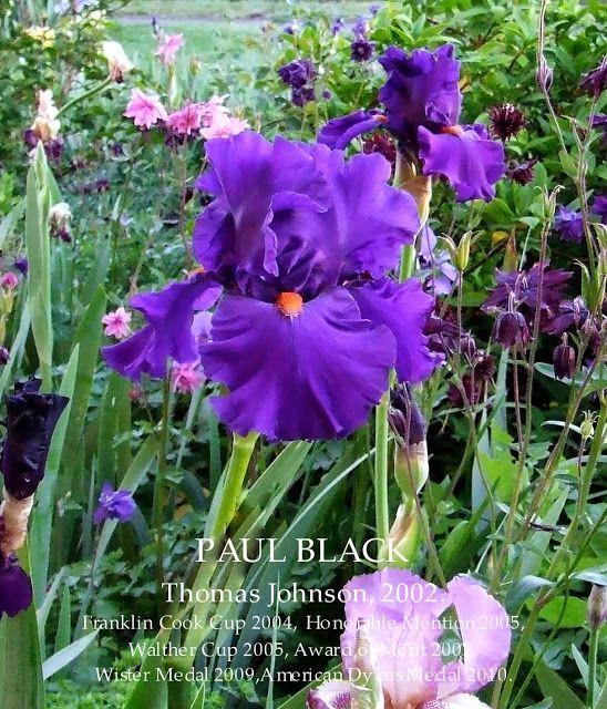 Tall Bearded Iris PAUL BLACK ~ HERITAGE IRISES