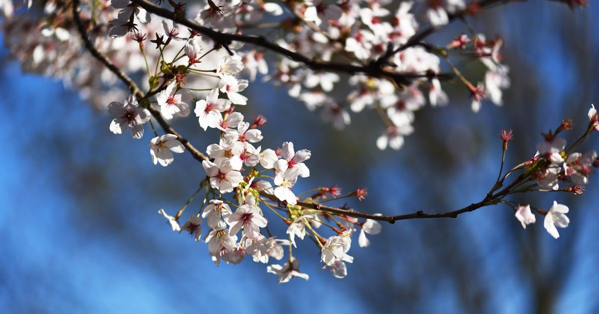 Terbaru 29 Wallpaper Bunga Sakura Biru Foto Stok Gratis Tentang Bunga Sakura Bunga Bunga Indah Download 4600 Gambar Bunga Di 2020 Bunga Sakura Bunga Wallpaper Bunga