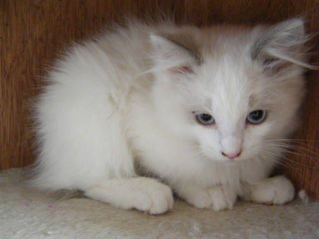 Ragdoll Kittens For Sale Adoption From East Stroudsburg Pennsylvania Ragdoll Kitten Kitten For Sale Kittens