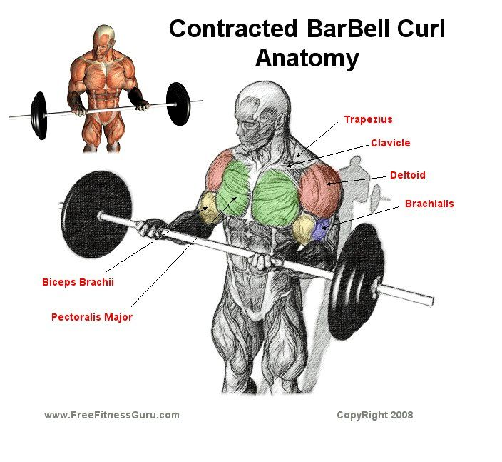 Dumbell Military Press Anatomy: Barbell Curl Anatomy