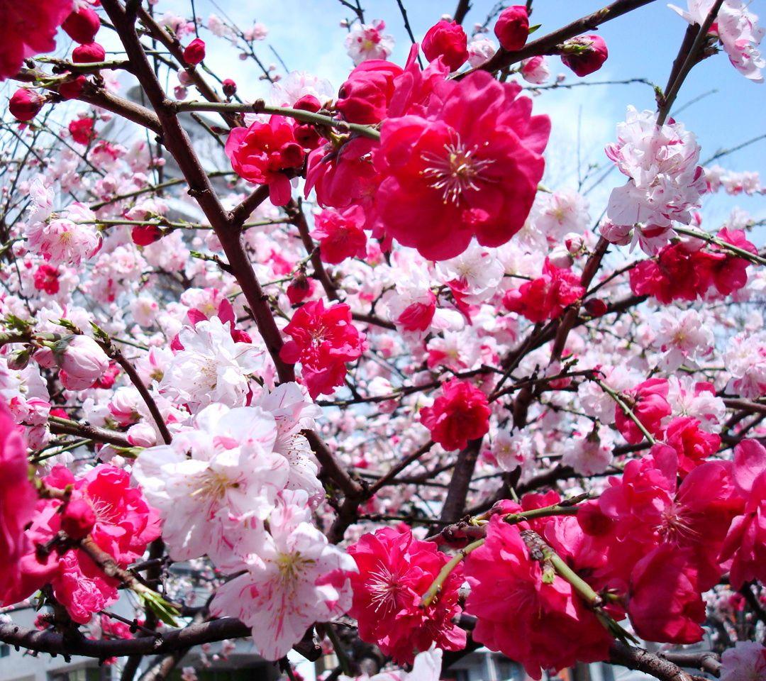 3 Cherry Blossom Tree 3 Cherry Blssms Pinterest Blossom