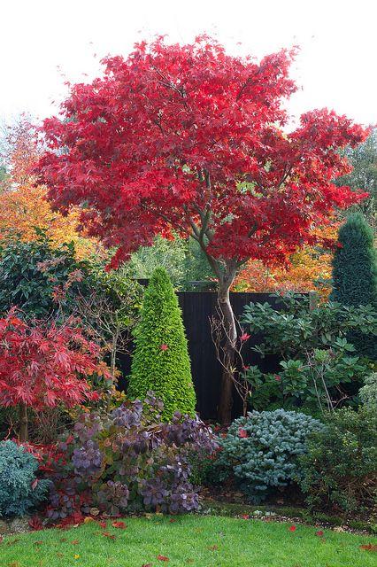 Japaninverivaahtera Acer palmatum. Lehdistö hohtavan punainen koko kesän, syysväri mikäli mahdollista vielä punaisempi