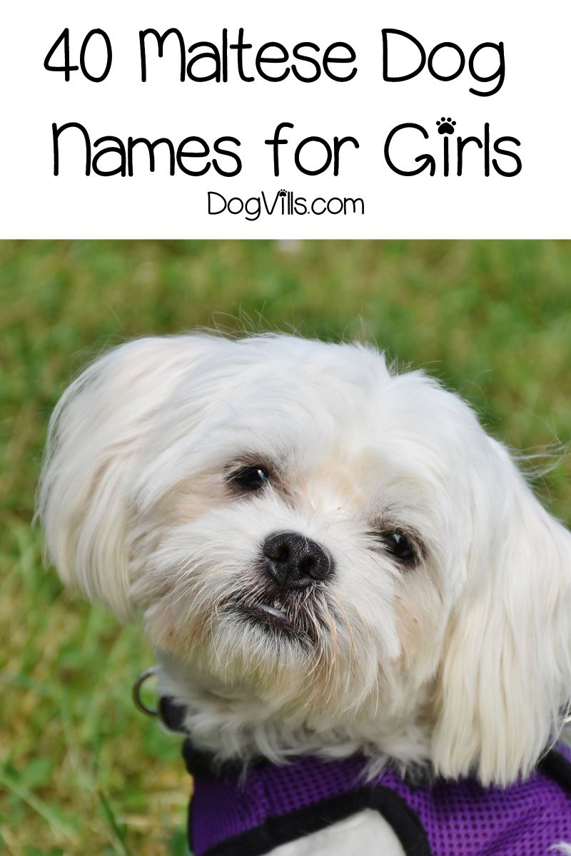 80 Beautiful Maltese Dog Names For Your New Pup Dogvills In 2020 Dog Names Maltese Dogs Maltese Breed